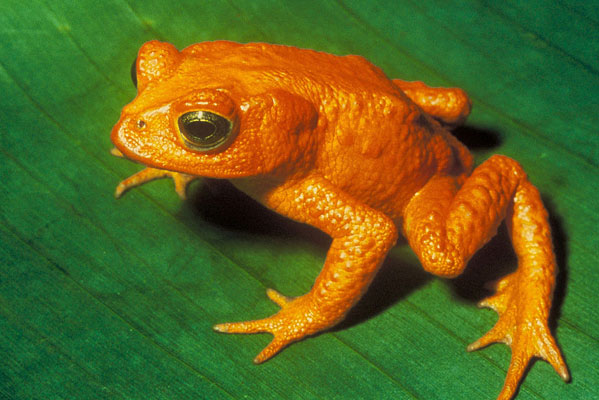 Golden toad. Photo by Papa Lima Whiskey