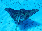 Eagle ray, Cayman Islands. Photo by Cayman Islands Tourist Board