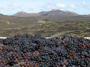 Grapes at a vinyard in Lanzarote. Photo by Lanzarote Tourist Board