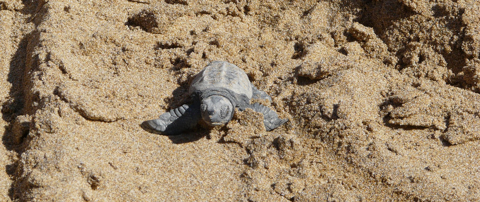 Baby turtle just hatched