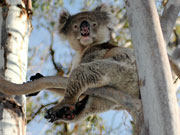 Koala in a tree, South Australia. Photo by South Australia Tourist Board