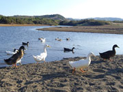 Ducks at Binimel La, Menorca. Photo by Menorca Tourist board