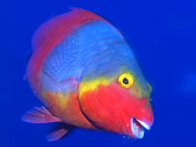 Parrotfish, Lanzarote. Photo by Lanzarote Tourist Board