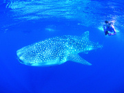 Diving with whale sharks in Western Australia. Photo by Tourism Western Australia